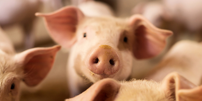 A biosensor equipped with a nanochip can detect diarrhoea bacteria in piglets